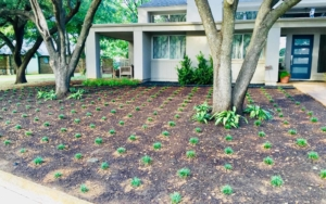 Newly placed landscaping with rows of the same plant